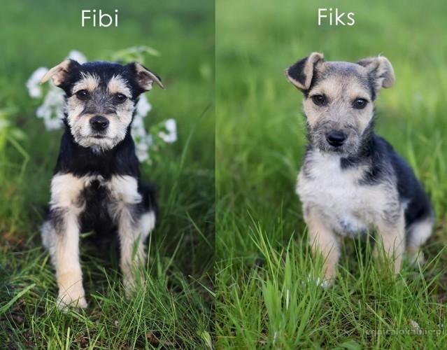 Fibi i Fiks - 3 miesięczne SZCZENIAKI w typie terrierka